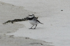 White-fronted Chat - Four Mile Creek Beach (Tas)