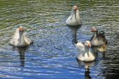 Domesticated Duck Family - Deloraine (Tas)