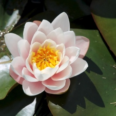 York Town - Water Lily Flower (TAS)