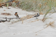 Welcome Swallow and White-fronted Chat - Four Mile Creek Beach (Tas)