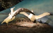 Hobart - Tasmanian Museum - Wandering Albatrosses (Tas)
