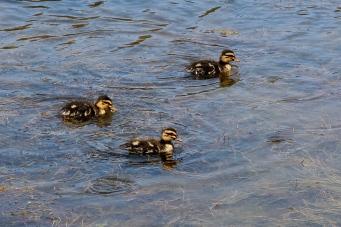 Ducklings - Swansea (Tas)
