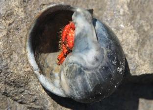 Moulting Lagoon - Stridulating Hermit Crab (Tas)