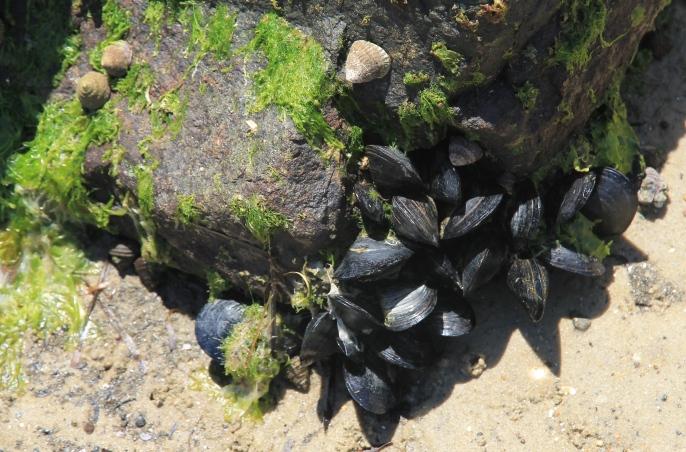 Moulting Lagoon - Tasmanian Blue Mussels (Tas)