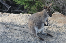 "Cape Tourville Lighthouse - Bennetts Wallaby - Twenty-Fourth Tick for Di's ""Animals in the Wild"" List (Tas)"