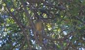 Yellow-throated Honeyeater - Maria Island (Tas)