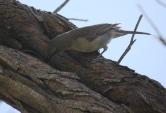Grey Shrike-thrush - Bicheno (Tas)