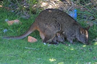 Maria Island - Tasmanian Pademelon (Tas)