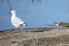 Silver Gull and Black-fronted Plover - Oatlands, Lake Dulverton (Tas)