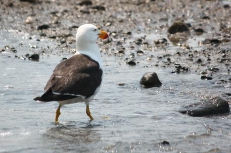 Pacific Gull - Fossil Bluff, Wynard (Tas)