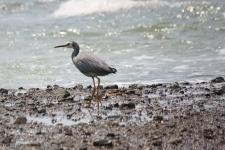 White-faced Heron - Fossil Bluff, Wynard (Tas)