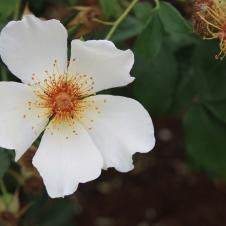 """""""Golden Wings"""" - Chudleigh Roses (TAS)"""