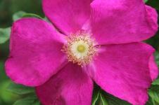 Chudleigh - Rose (TAS)