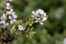 Cradle Mountain-Lake St Clair National Park - Geraldton Wax (TAS)