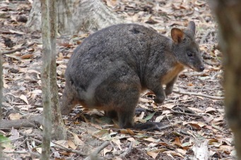 Stanley - Pademelon On Top Of The Nut (Tas)