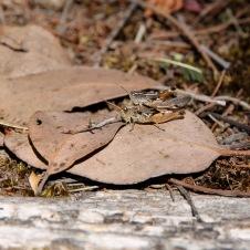 Cradle Mountain-Lake St Clair National Park - Wingless Grasshoppers (Phaulacridium vittatum) Mating (TAS)