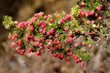 Cradle Mountain-Lake St Clair National Park - Pink Mountain-berries (TAS)