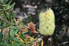 Cradle Mountain-Lake St Clair National Park - Banksia Flower (TAS)