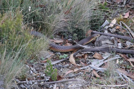 Bronte Lagoon - Lowland Copperhead (Tas)
