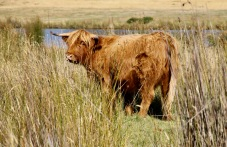 Tarraleah - Scottish Highland Cattle (Tas)