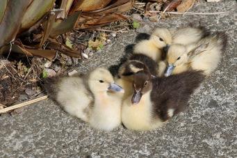 Domesticated Goslings - Tarraleah (Tas)