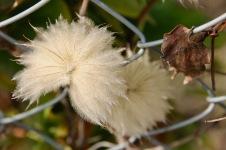 New Norfolk - Flora 'Opened' (TAS)