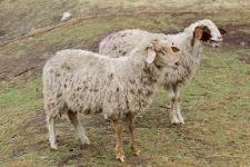 Birchs Bay - Grandvewe Cheeses Herd (Tas)