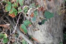 Bruny Island - Blackberry (TAS)