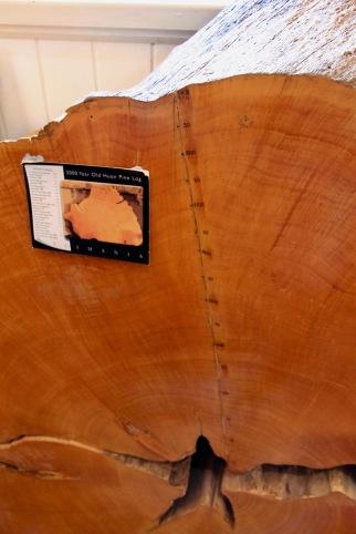 Geeveston - 2000 Year Old Huon Pine Log (Tas)