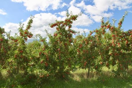 Huonville - Apple Orchards (Tas)
