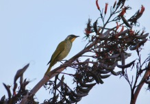 Yellow-throated Honeyeater - Tarraleah (Tas)