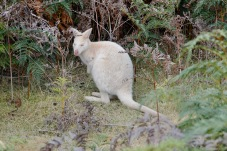 """Bruny Island - White Wallaby (Twenty-Fourth Tick for Di's """"Animals in the Wild"""" List (Tas)"""