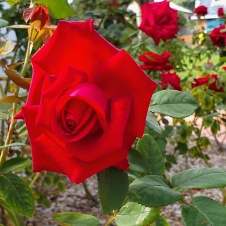 Gulgong - Soldiers Memorial Garden Roses (NSW)